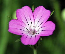Agrostemma is a genus of annual plants in the Caryophyllaceae family