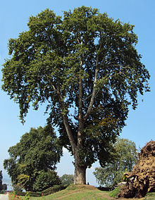 Platanus orientalis, or oriental plane, is a large, deciduous tree of the Platanaceae family, growing to 30 m (98 ft) or more, and known for its longevity and spreading crown.