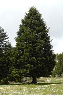 Abies cilicica, commonly known asTaurus firorCilicia fir, is a species ofconiferin thePinaceaefamily. It is found inLebanon,Syria, andTurkey.