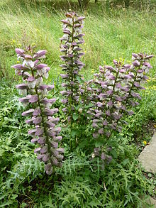 Acanthus spinosus (spiny bear's breeches) is a species of flowering plant in the family Acanthaceae, native to southern Europe, from Italy to western Turkey