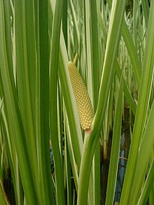 Acorus calamus (also called Sweet Flag or Calamus, among many common names) is a tall perennial wetland monocot of the Acoraceae family