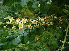 It is the primary tree in the genus Boswellia from which frankincense, a resinous dried sap, is harvested.