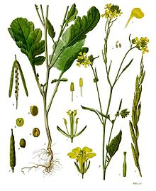 Brassica nigra (black mustard) (Sanskrit, rajakshavak;Marathi:,Kali Mohari) is an annual weedy plant cultivated for its seeds, which are commonly used as a spice.