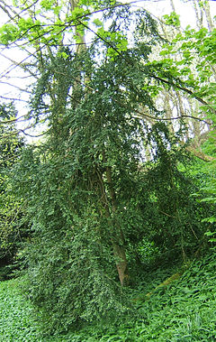Buxus is a genus of about 70 species in the family Buxaceae