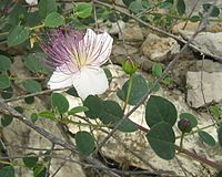 Classical Hebrew name of a plant mentioned in the Bible in the context of religious rituals