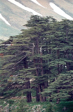 Cedrus libani is a species of cedar native to the mountains of the Mediterranean region