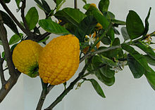 Thecitronis a fragrant citrus fruit, botanically classified asCitrus medicaby both theSwingleandTanakabotanical name systems