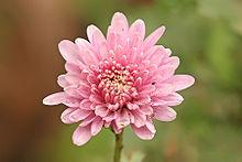 Chrysanthemums, sometimes called mums or chrysanths