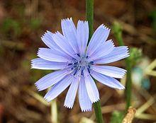 Cichorium is a genus of flowering plants in the family Asteraceae