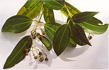"Cinnamomum verum, called ""true cinnamon"","