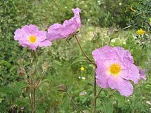 The Cistaceae are a small family of plants (rock-rose or rock rose family) known for their beautiful shrubs