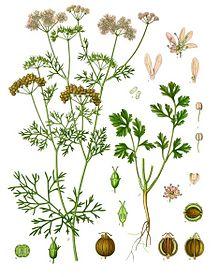 (Coriandrum sativum)Coriander(Coriandrum sativum), also known ascilantro