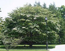 The Kousa dogwood (Cornus kousa or Benthamidia kousa) is a small deciduous tree 8–12 m