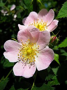 Rosa canina (commonly known as the dog rose) is a variable climbing wild rose species native to Europe, northwest Africa and western Asia.