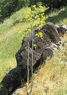 """Ferula (from Latin ferula, """"rod"""") is a genus of about 170 species of flowering plants in the family Apiaceae, native to the Mediterranean region east to central Asia"""