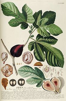 The common fig (Ficus carica) is a species of flowering plant in the genus Ficus