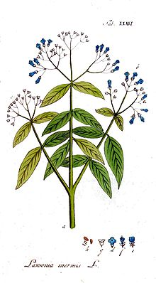 the henna tree, the mignonette tree, and the Egyptian privet) is a flowering plant and the sole species of the Lawsonia genus.
