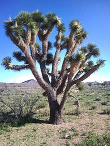 Yucca brevifolia is a plant species belonging to the genus Yucca. It is tree-like in habit, which is reflected in its common names: Joshua tree, yucca palm, tree yucca, and palm tree yucca.