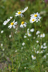 daisy-like plants of the family Asteraceae that are commonly used to make a herb infusion that can help to induce sleep