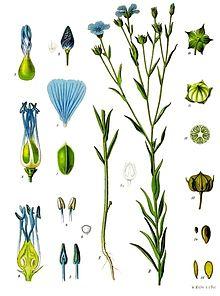 Linum usitatissimum, is a member of the genus Linumin the familyLinaceae