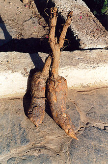 Mandrake is the common name for members of the plant genus Mandragora, particularly the species Mandragora officinarum