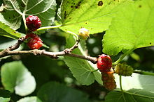 Morus, a genus of flowering plants in the family Moraceae, comprises 10–16 species of deciduous trees commonly known as mulberries growing wild and under cultivation in many temperate world regions