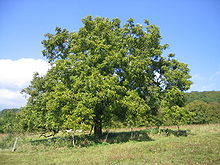 A walnut is that part of any tree of the genus Juglans (Family Juglandaceae), particularly the Persian or English walnut, Juglans regia used for food after being processed while green for pickled walnuts or after full ripening for its nutmeat.