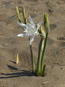 Pancratium maritimum, or sea daffodil, is a species of bulbous plant native to both sides of the Mediterranean region and Black Sea from Portugal, Morocco