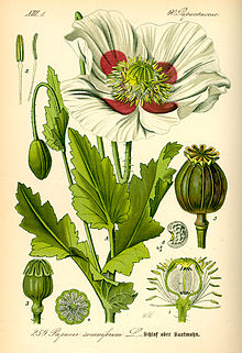 Papaver somniferum, the Opium poppy, is the species of plant from which opium and poppy seeds are derived