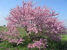 Cercis siliquastrum, commonly known as the Judas tree, is a small deciduous tree from Southern Europe and Western Asia which is noted for its prolific display of deep pink flowers in spring.
