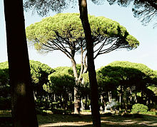 The stone pine (Pinus pinea), also called Italian stone pine, umbrella pine and parasol pine