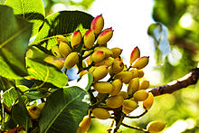 Pistacia vera, a member of the cashew family, is a small tree originally from Central Asia and the Middle East.