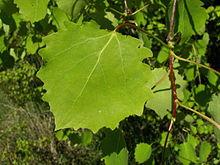 White Populus is a genus of 25–35 species of deciduous flowering plants in the family Salicaceae