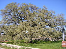 Quercus macrolepis, the Valonia oak, is a tree in the family Fagaceae