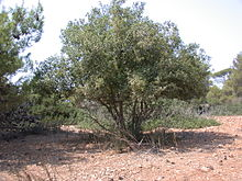 Quercus calliprinos, the Palestine oak, is an oak classified as part of the Cerris section of the species.
