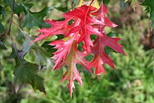 Quercus coccinea, the scarlet oak, is an oak in the red oak section Quercus sect. Lobatae.
