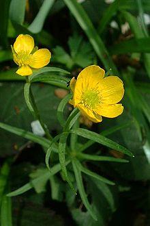 "Ranunculaceae(buttercuporcrowfoot family;Latinrnunculus""little frog"""