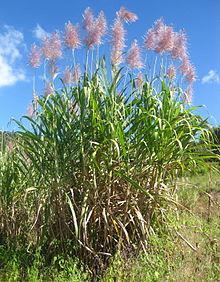 Saccharum officinarum, sugarcane, is a large, strong-growing species of grass in the genus Saccharum