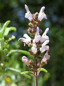 Salvia fruticosa (Greek sage) is a perennial herb or sub-shrub native to the eastern Mediterranean