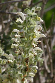 The branched inflorescence is one of several salvias thought to have inspired the design of the menorah.