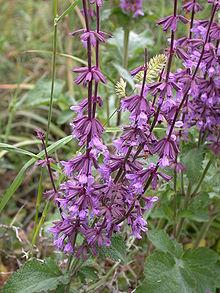 Salvia judaica (Judean sage) is a perennial native to Mediterranean woodlands and shrublands