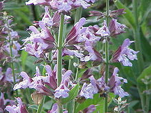 Salvia is the largest genus of plants in the mint family, Lamiaceae, with nearly 1000 species of shrubs