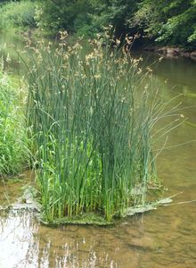 Bulrushes is the vernacular name