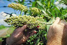 Sorghum is a genus of grasses with about 30 species, one of which is raised for grain and many of which are used as fodder plants