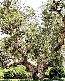 Ficus sycomorus, called the sycamore fig or the fig-mulberry