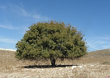 Pistacia palaestina is a tree or shrub common in the Levant region