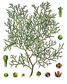 Thyine wood is a 15th-century English name for a wood from the tree known botanically as Tetraclinis articulata