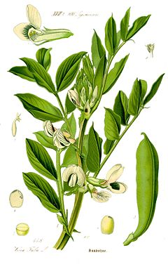 Bean Vicia Fava