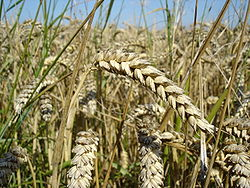 Wheat is one of the first cereals known to have been domesticated, and wheat's ability to self-pollinate greatly facilitated the selection of many distinct domesticated varieties