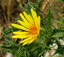 Scolymus (golden thistle or oyster thistle) is a genus of three species of flowering plants in the family Asteraceae